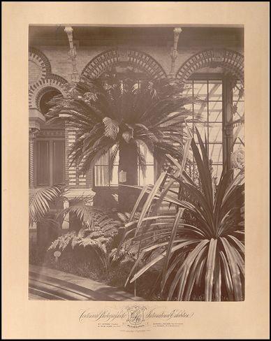 Banana Tree at the Centennial Exposition