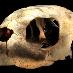 Olive Ridley Turtle Skull