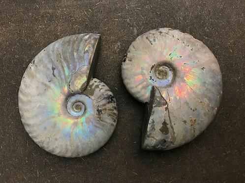 Large Opalized Ammonite
