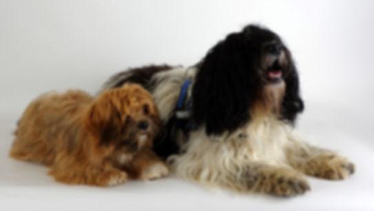 Therapiehonden, therapiehond bgeleiding, honden werken, ptss honden, buddy honden