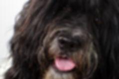 Jip, therapiehond, therapiehondbegeleiding, workshops, spiegelen met honden, teambuilding, coachen met honden