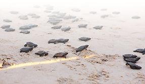 Nascimento das Tartarugas em Porto de Galinhas