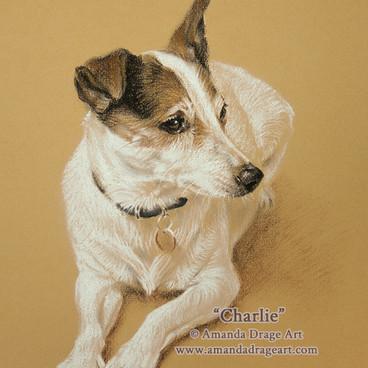 Jack Russell Terrier Pencil Portrait