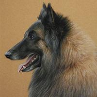 Portrait of a Belgian Shepherd Dog by Amanda Drage Art