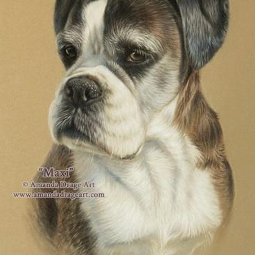 Brindle Boxer Dog Pastel Portrait