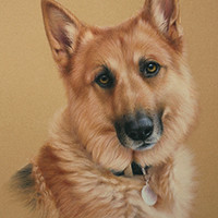 Portrait of a German Shepherd Dog by Amanda Drage Art