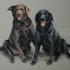 Black and Chocolate Labradors Pastel Portrait