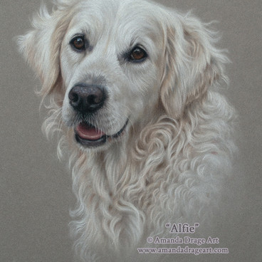 17-Golden-Retriever-Pastel-Portrait-Aman