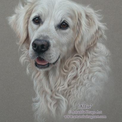 17-Golden-Retriever-Pastel-Portrait-Aman