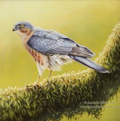 Sparrowhawk Oil Painting