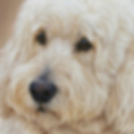 Close up of Labradoodle portrait in pastel by Amanda Drage Art
