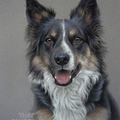 Tricolour Border Collie Pastel Portrait