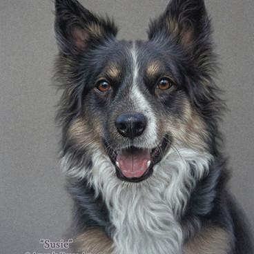 Tricolour Border Collie Pastel Portrait