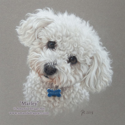 Bichon Frise Pastel Portrait