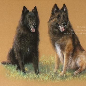 Belgian Shepherds Groenendael and Tervueren Pastel Portrait