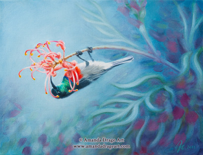 Sunbird on Pincushion Blossom