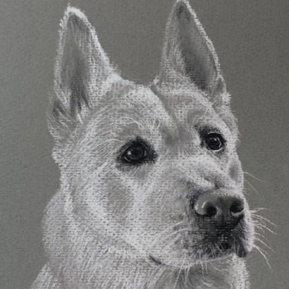 White Japanese Akita Pencil Portrait