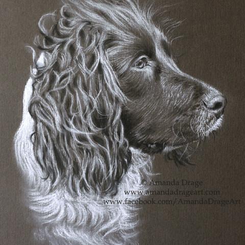 Springer Spaniel Pencil Portrait
