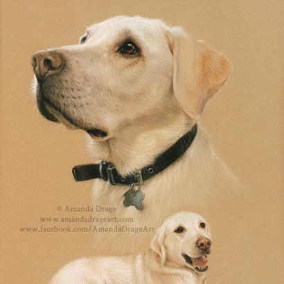Golden Labrador Pastel Portrait