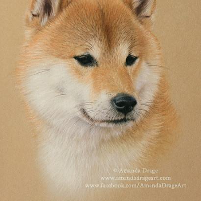 Japanese Shiba Inu Pastel Portrait