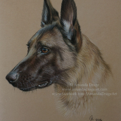 Belgian Shepherd Malinois Pastel Portrait