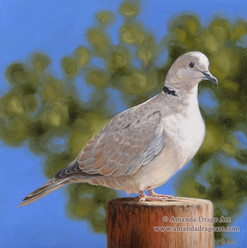 Collared Dove Oil Painting