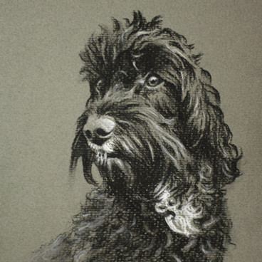 Black Cockapoo Pencil Portrait
