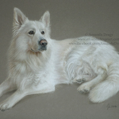 White German Shepherd Pastel Portrait