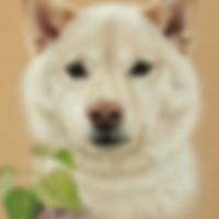 Portrait of a Shiba Inu by Amanda Drage Art