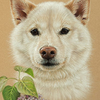 Portrait of a Shiba Inu by Amanda Drage Art