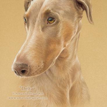 Fawn Dobermann Pastel Portrait