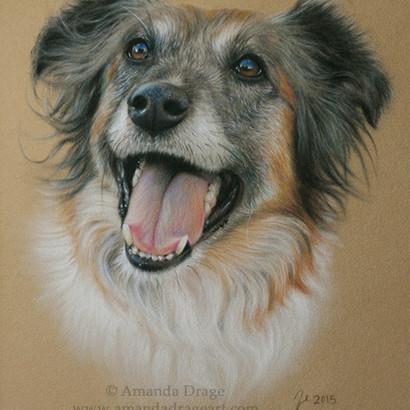 English Shepherd Pastel Portrait