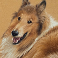Portrait of a Rough Collie by Amanda Drage Art