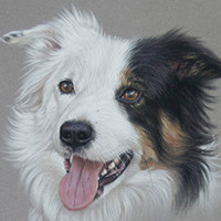 Portrait of a Border Collie by Amanda Drage Art