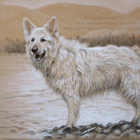 White German Shepherd Pencil Portrait