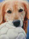 Golden Retriever portrait by Amanda Drage Art