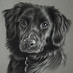 Charcoal portrait of a black dog by Amanda Drage Art