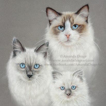 Ragdoll Cats Pastel Portrait