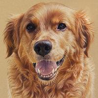 Portrait of a Golden Retriever by Amanda Drage Art