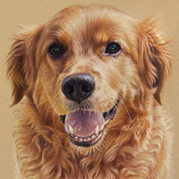 Portrait of a Golden Retriever by Amanda Drage Art