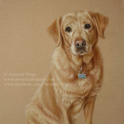 Fox Red Labrador Pastel Portrait