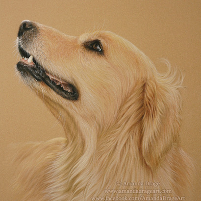 Golden Retriever Pastel Portrait