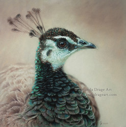 Peahen Pastel Drawing