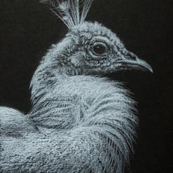 White-Peacock-Drawing-Amanda-Drage-Art.j