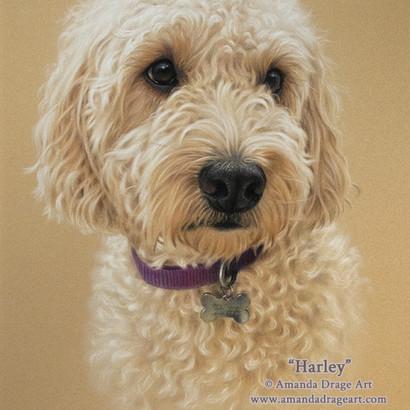 Golden Cockapoo Pastel Portrait