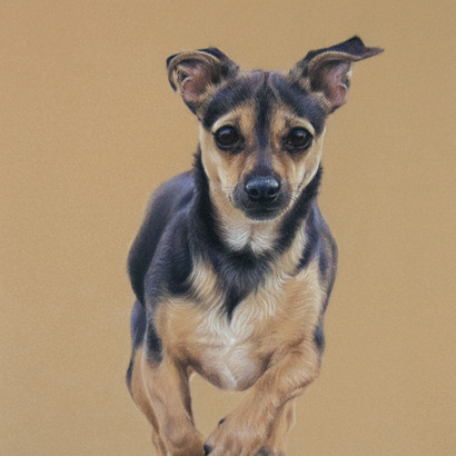 Jack Russell x Chihuahua Pastel Portrait