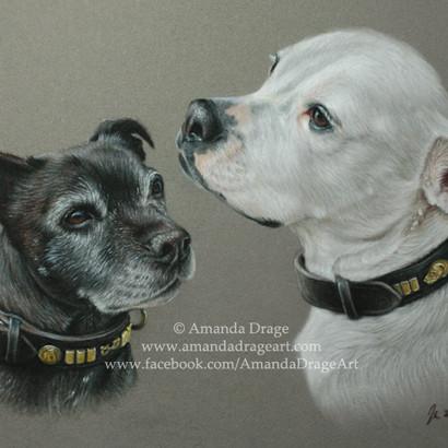 Staffordshire Bull Terrier and American Bulldog Pastel Portrait