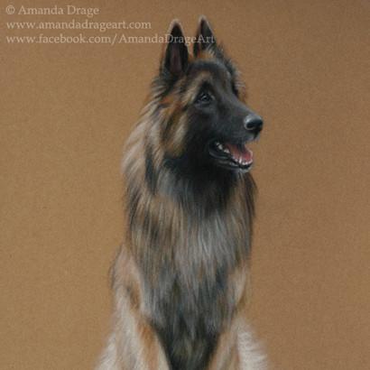 Belgian Shepherd Tervueren Pastel Portrait