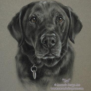Black Labrador Pencil Portrait