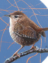 Close up of a Wren painting by Amanda Drage Art